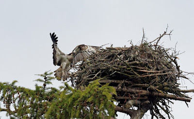 Adult Osprey delivering a fish to the nest