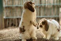 usaha ternak kelinci, rincian modal usaha ternak kelinci, biaya modal ternak kelinci, ternak kelinci, bisnis ternak kelinci, modal ternak kelinci, bisnis kelinci, kelinci, ternak kelinci