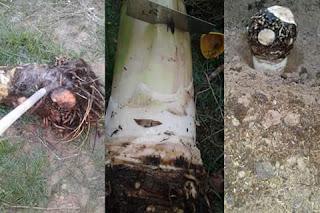 Penanaman Pohon pisang dengan sistem terbalik
