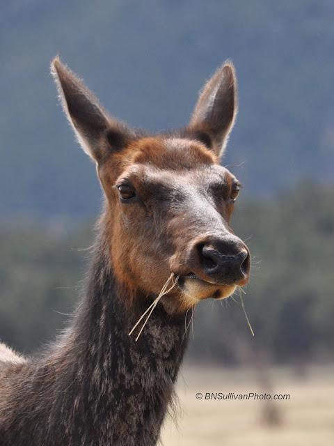 Female elk image © 2016 B N Sullivan