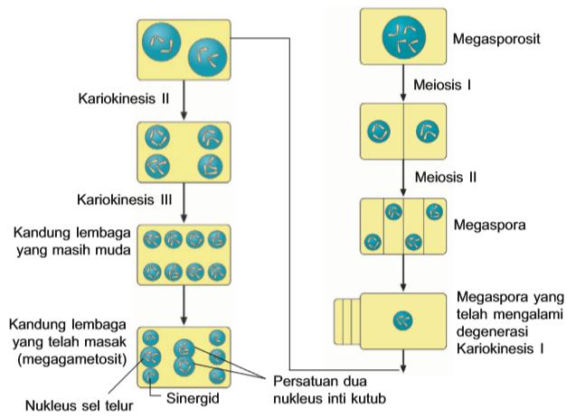 Megasporogenesis
