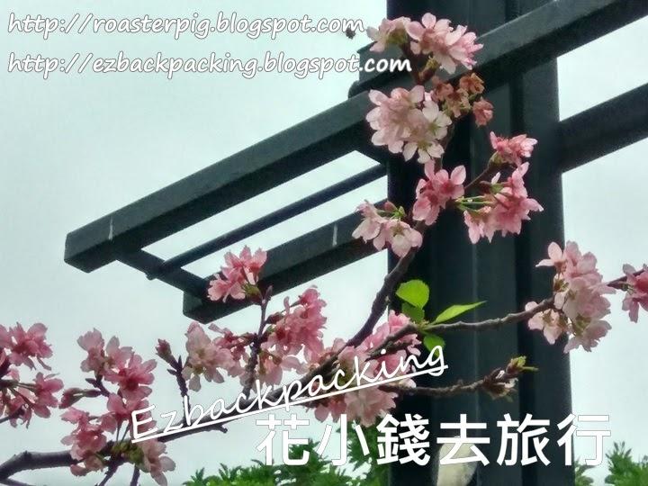 大埔海濱公園櫻花