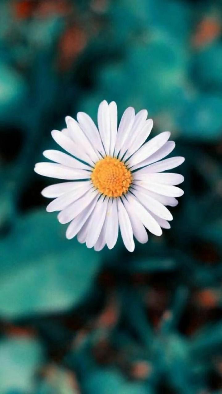 Hinh nen hoa cuc dep%2B%252810%2529