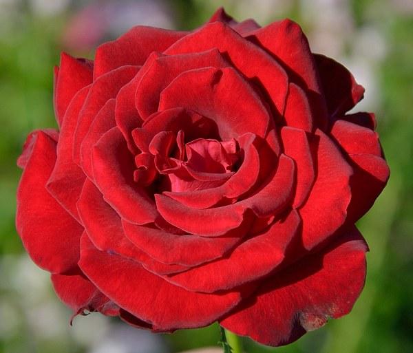 Schwarze Madonna роза фото