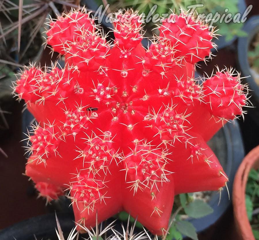 Gymnocalycium mihanovichii variegado
