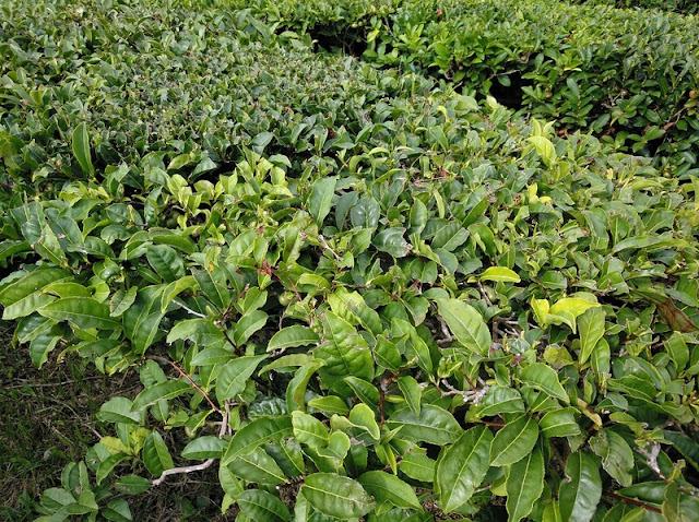 Primer plano de los arbustos de hojas de té en una plantación en Porto Formoso (Azores)