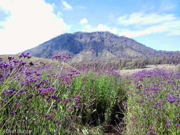 bunga lavender sedang mekar
