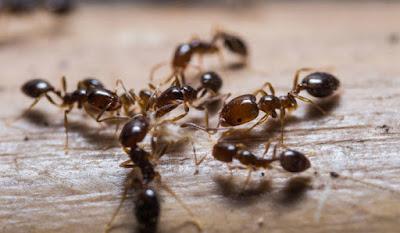 Una hormiga extrae orina de canguro de la tierra para obtener nitrógeno