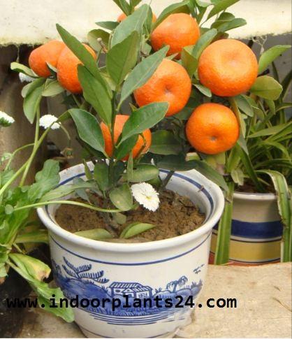 ClTROFORTUNELLA X MICROCARPUS PLANT PICTURE