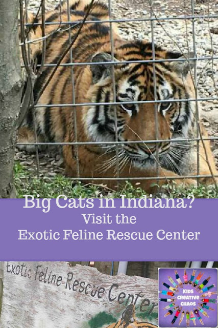 Big Cats in Indiana: Exotic Feline Rescue Center