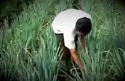 pendapatan petani budidaya daun bawang