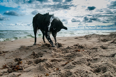 A dog digs in the sand at the beach