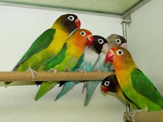 lovebird bakalan, lovebird anakan, anakan lovebird, bakalan lovebird, lovebird berkualitas, bakalan lovebird berkualitas, anakan lovebird berkualitas, lovebird bakalan berkualitas, lovebird anakan berkualitas