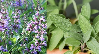 Salvia: Simbol, legendă, superstiții și medicină