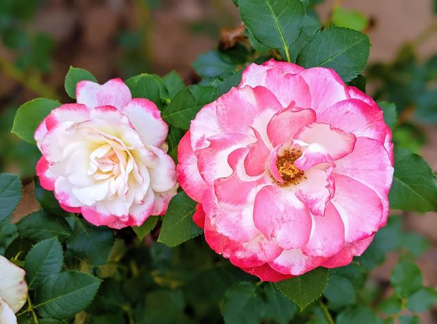 Cherry Parfait roses