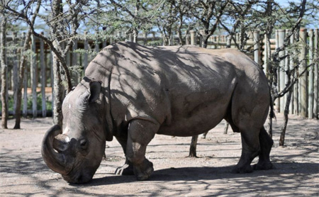 World's last male northern white rhino desperately needs a mate