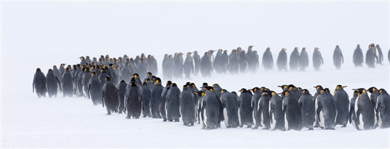 Penguins queuing in the snow