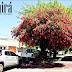 La flor nacional embellece paseos, calles y viviendas pehuajenses