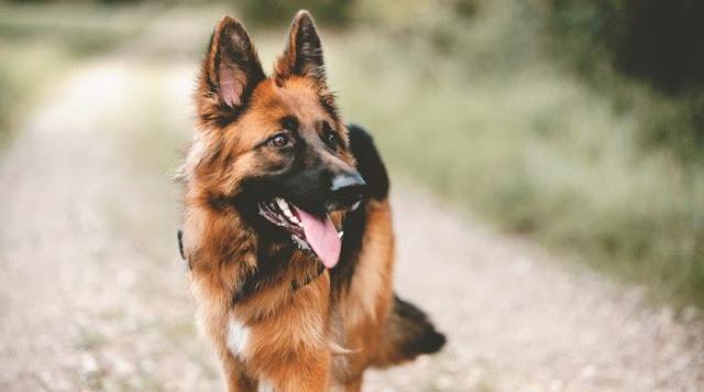 تدريب الكلاب البلدي على الطاعة في خطوات بسيطة