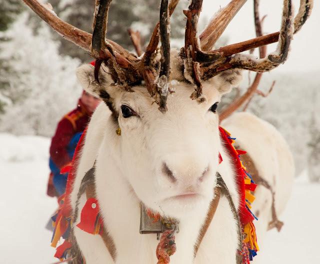 İsveç Ren Geyiği Sweden Moose Reindeer