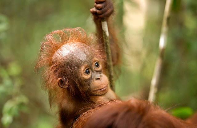Orangutan masuk ke dalam kategori Critically endangered