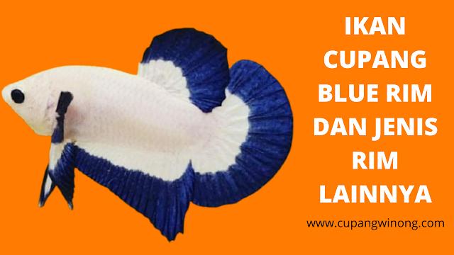 Ikan cupang blue rim dan jenis rim lainnya