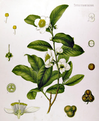 Botanical illustration of Camellia sinensis, the tea plant.