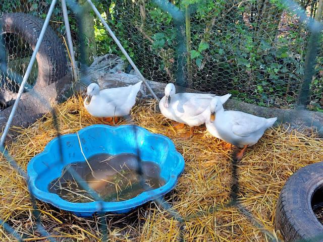 Three white Pekin ducks next to a blue paddling pool