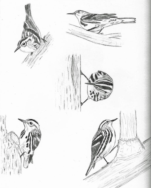 Black-and-white Warbler gesture sketches