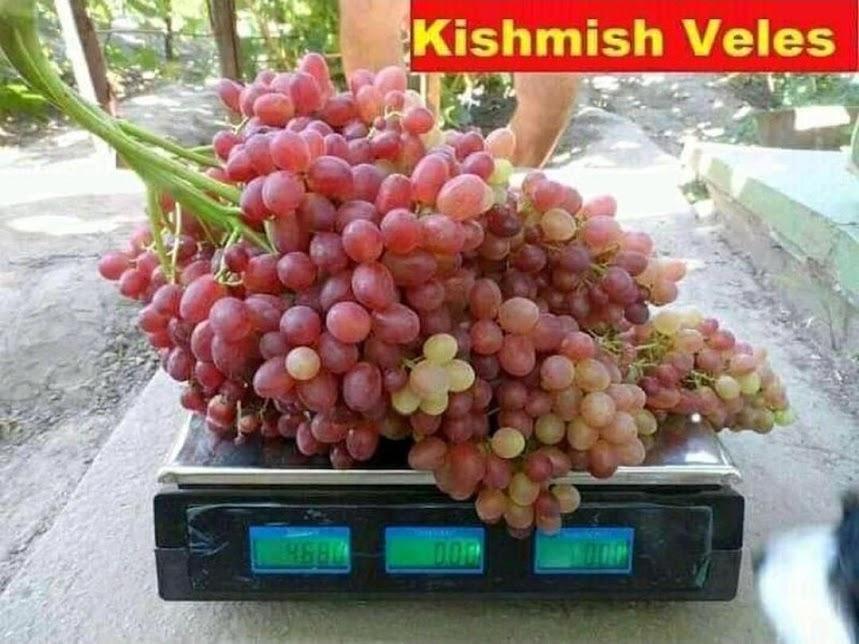 Bibit Buah anggur import jenis Velles Siap Berbuah Jakarta