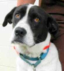 9/21/12 Dogs in High Kill Shelter Nashville North Carolina. Brutus is A Dog in Need-Pointer/Labrado