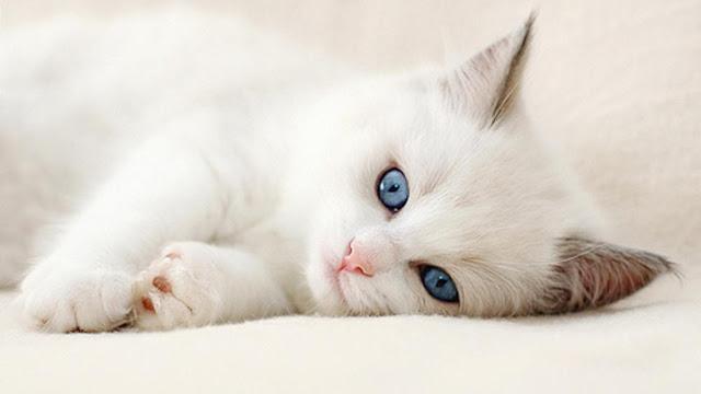 aa08ac362b6a Όταν μια γάτα... γουργουρίζει θέλει να καλοπιάσει έναν άνθρωπο που  χαμογελάει ή να αμυνθεί σε έναν σκύλο. Μερικές φορές μπορεί να το κάνει ...