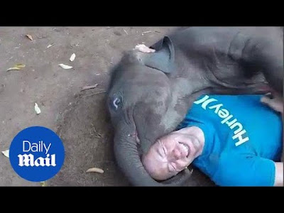 The most beautiful clips of elephants on Daily Mail