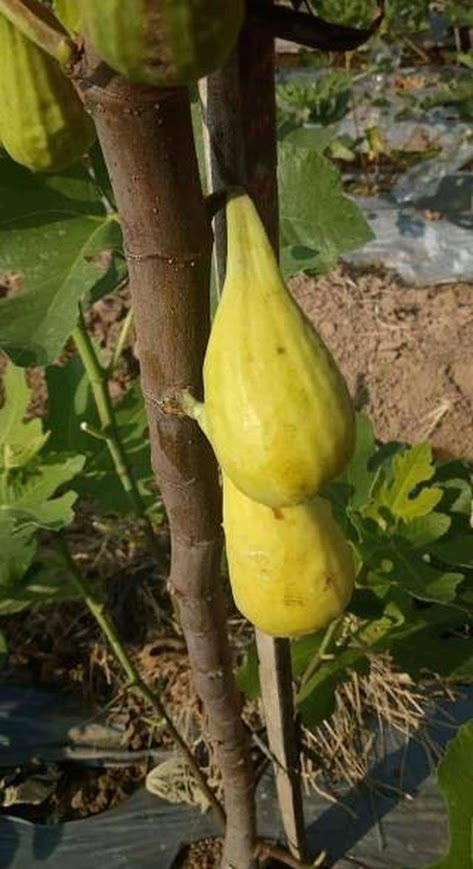 Fresh cangkok bibit buah tin jenis FICO SALAM Madiun
