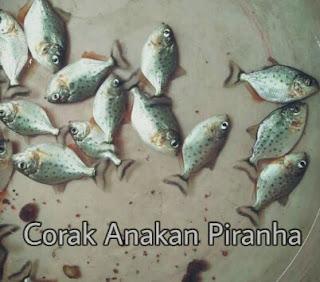 Jenis Ikan Predator Air Tawar Dan Harganya Lengkap