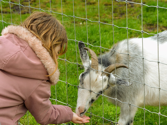 Image taken at Tattershall Farm Park of a little girl in a pink coat hand feeding a white horned goat some animal feed.