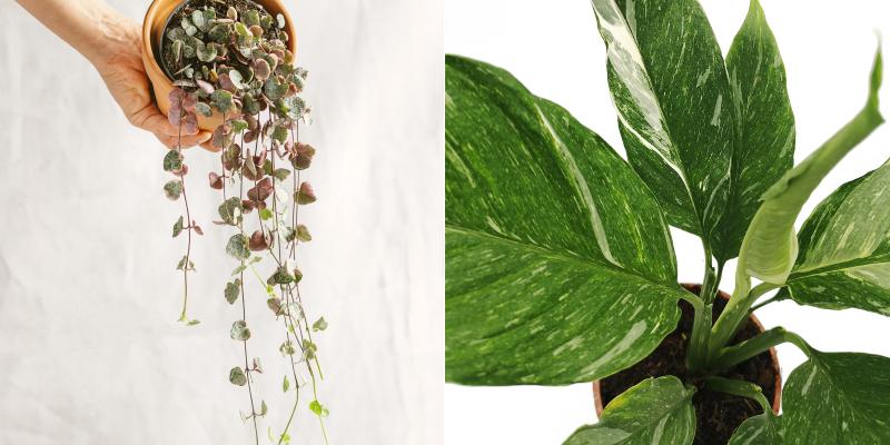 ceropegia woodii variegata spathiphyllum variegata