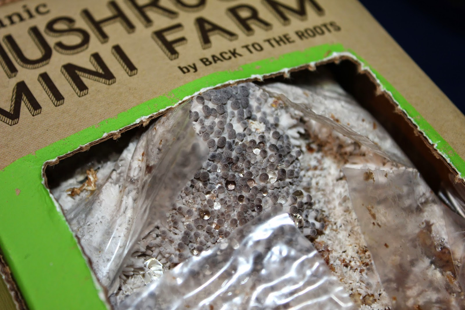 Back to the roots oyster mushroom kit - Things to do for
