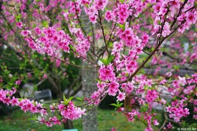Sự tích của hoa mai, hoa đào ngày Tết
