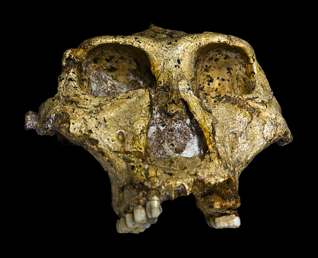 Analysis of Paranthropus anatomy and diet finds evolution follows least resistant path