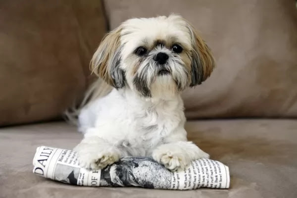 10 of the most popular types of small dogs in the world | cat and dogs