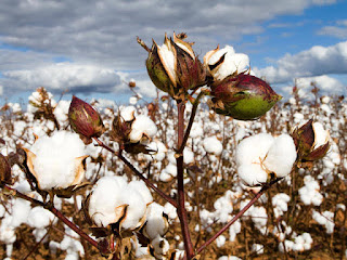 Arrivals of cotton this year during Oct-Nov stood at 65.79 lakh bales