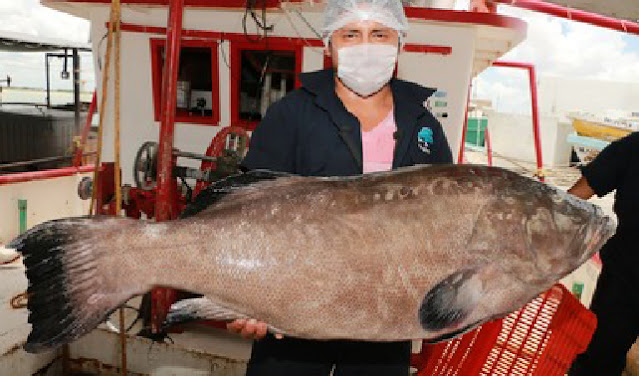 El próximo miércoles 31 de marzo termina el periodo de veda para la pesca de mero en la zona del Golfo de México y mar Caribe.