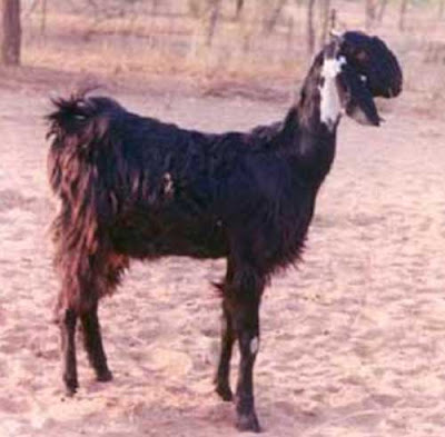 kutchi goat, kutchi goats, about kutchi goat, kutchi goat appearance, kutchi goat breeding, kutchi goat color, caring kutchi goats, kutchi goat characteristics, kutchi goat facts, kutchi goat ears, kutchi goat farming, kutchi goat horns, kutchi goat information, kutchi goat milk, kutchi goat meat, kutchi goat origin, kutchi goat photos, kutchi goat pictures, kutchi goat size, kutchi goat uses, kutchi goat weight, kutchi goat milk yield
