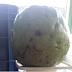 Agricultora colhe goiaba de quase 1 kg em Ipira