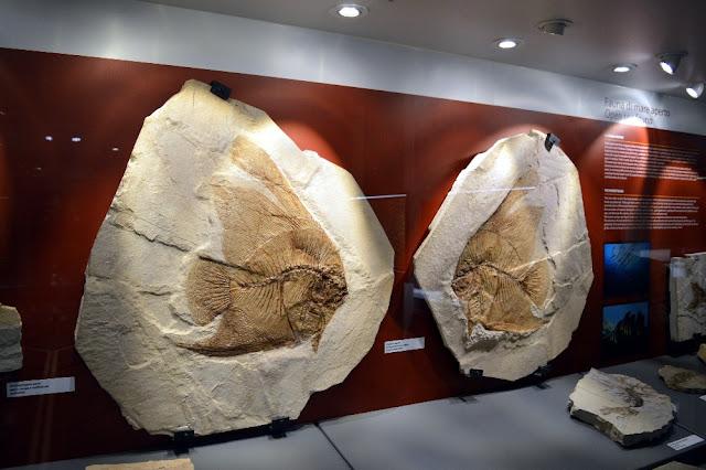 bolcamuseo dei fossili bolca pesciaria