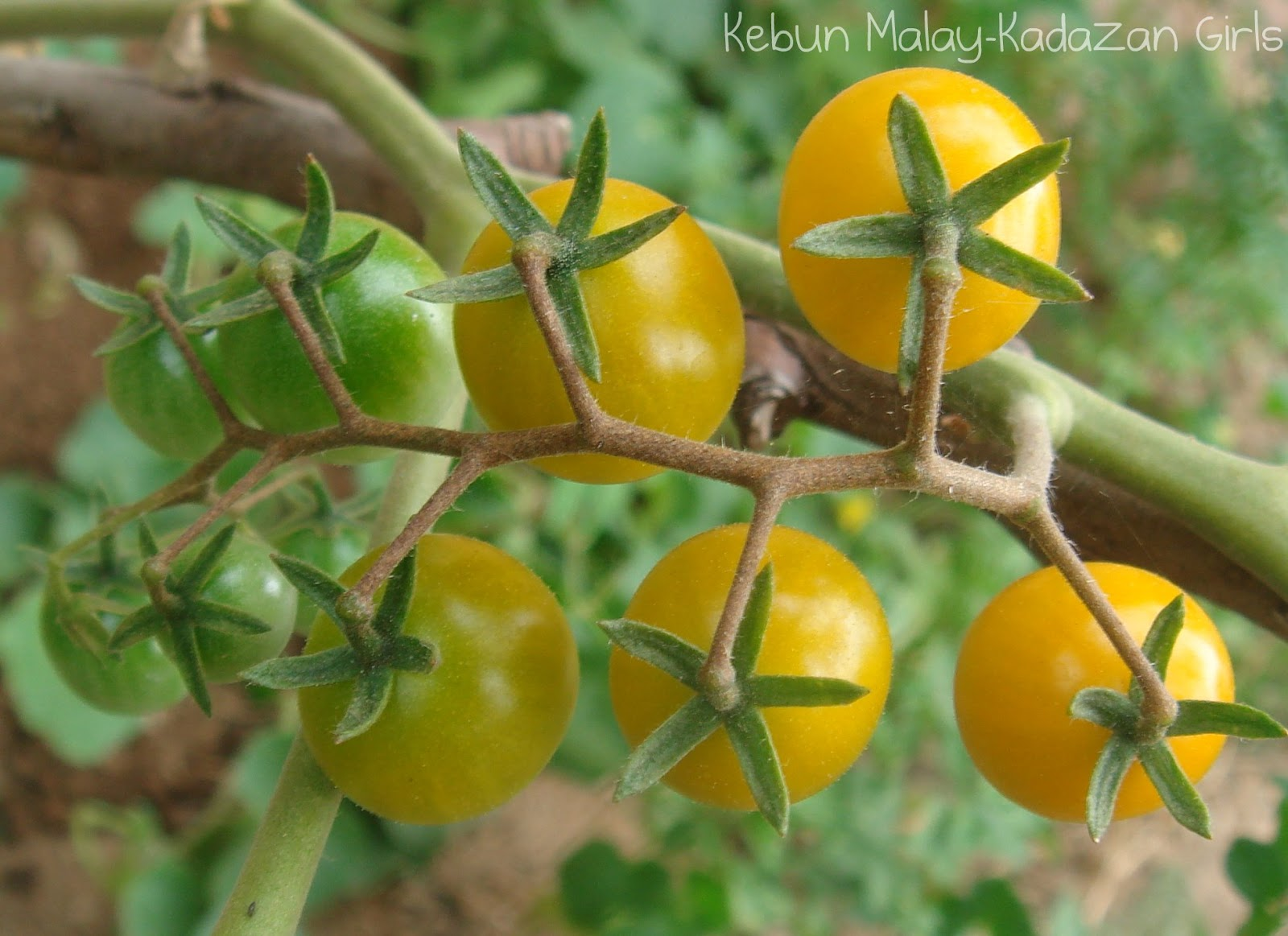 yellow cherry tomatoes - photo #41