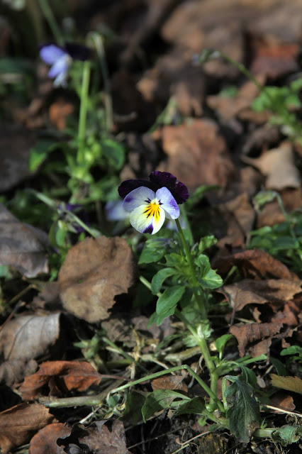violas, gardening, flowers, winter, november, Anne Butera, My Giant Strawberry