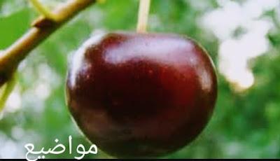 كيفيه زراعه الكرز-Cherry