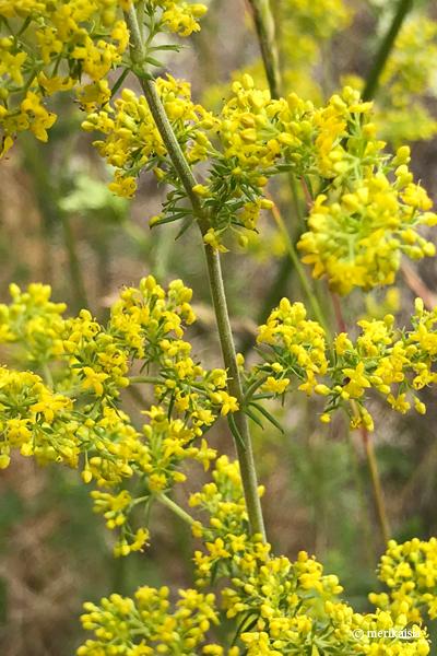 Keltamatara, keltakukkainen luonnonkukka